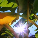 Bananes en Australie